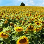 Sunflowers near Traverse City, Michigan